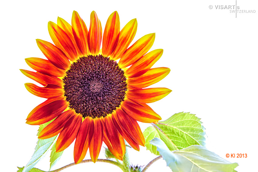 Visartis gallery switzerland - Fleur du soleil ...