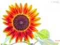 fleur-du-soleil