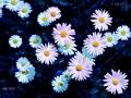 sternblumen